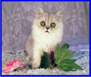 Silver Shaded persian kitten
