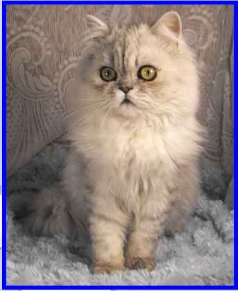 Silver Shaded persian cat
