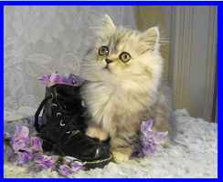 Silver Shaded napoleon Kitten