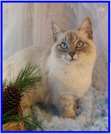 Blue Lynx Point Munchkin Cat